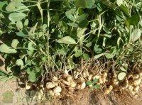 Арахис: выращивание на участке