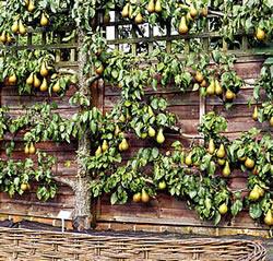 Яблони для выращивания на шпалере 72