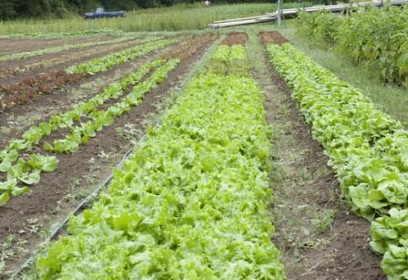 грядки салата на огороде