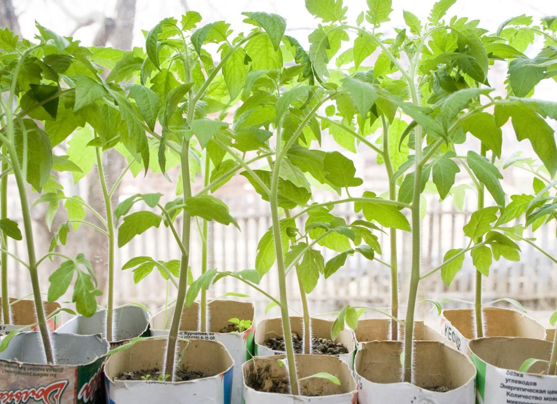 Подготовка семян томатов к посадке на рассаду - Дачные 98