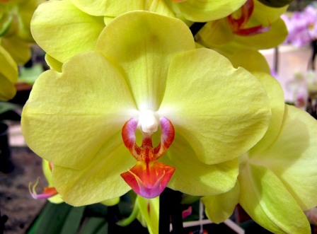 Разновидность орхидеи уход в домашних условиях