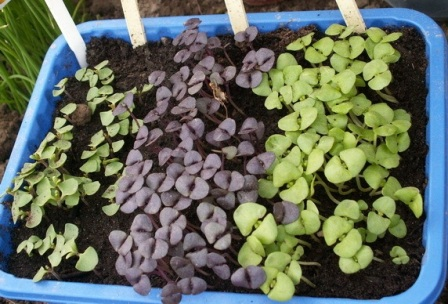 для выращивания базилика: