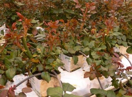 Выращивание розы на английском