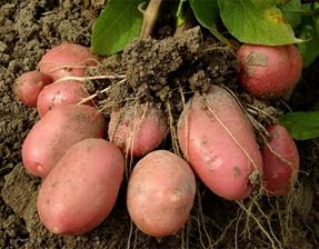 Теплые грядки видео картофель посадка фото 467-152