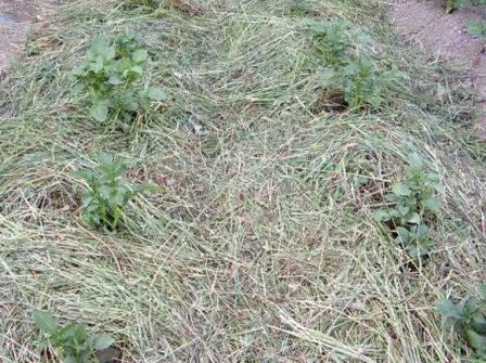 трава на огороде используется в виде мульчи и подкормок
