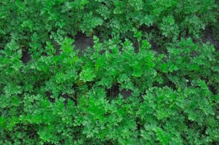 Выращивание петрушки в домашних условиях 74