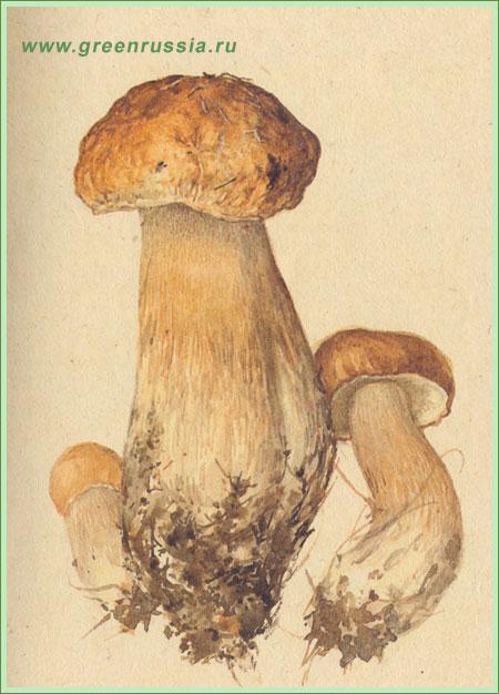 Белый гриб по вкусовым качествам не