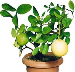 Как вырастить цитрусовые дома