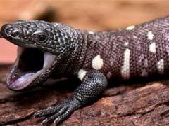 Слюна ядовитой ящерицы остановит переедание