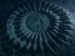 Рыбы фугу – авторы подводных рисунков