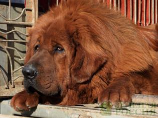 Самая дорогая собака в мире продана за 1,9 млн. долларов