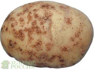 Фитофтора на картофеле – внимание опасность