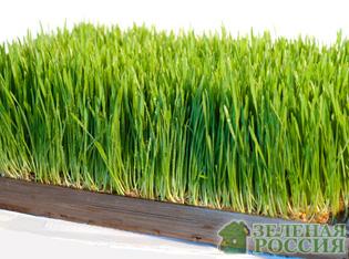 Диетологи рекомендуют употреблять ростки пшеницы