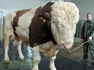 самый большой бык смотреть фото #16
