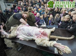 Датский зоопарк провел показательное вскрытие льва для детей
