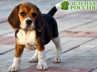 Ученые: Хвост собаки не только передает ее настроение