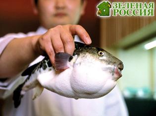 В Японии обнаружили новый вид рыбы фугу