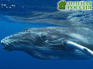 В США горбатый кит напугал рыбаков видео