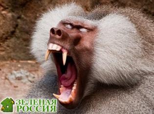 Ученые: Самцы-бабуины используют насилие, чтобы получить от самок секс