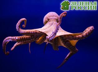 Ноги осьминога прекрасно справляются с функциями носа и языка