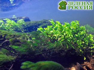У водорослей открыли третий пол