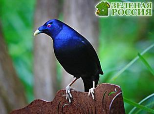 Австралийские птицы-шалашники  совсем как люди
