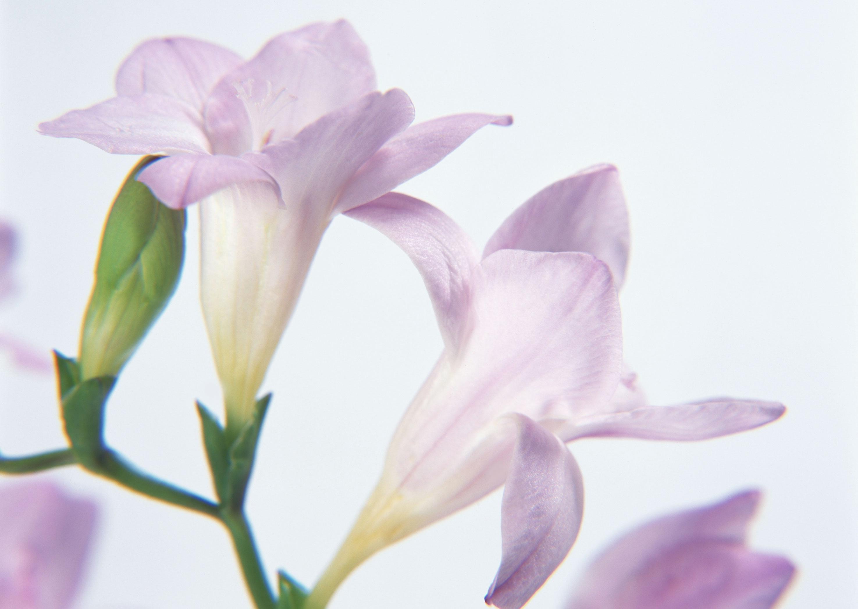 цветы под снегом обои на рабочий стол
