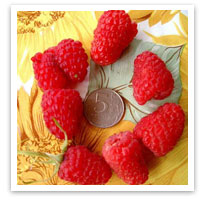 Эффективный прием при выращивании малины