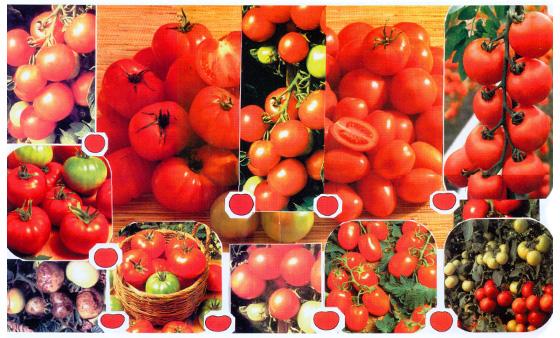 ягодой. все же продолжают выращивать помидоры.  На сегодняшний день существует более 25... рекомендуем ознакомиться с...