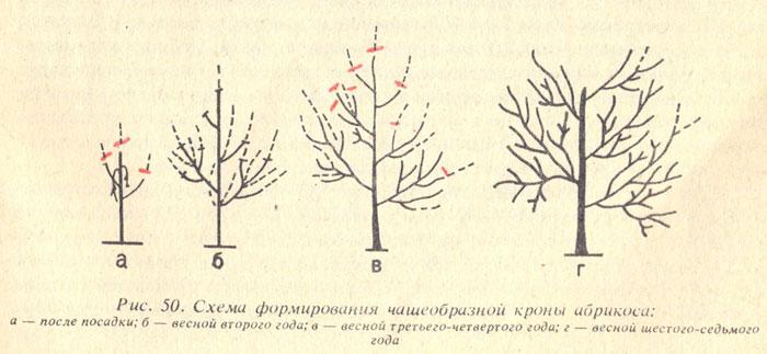 Формирование кроны дерева
