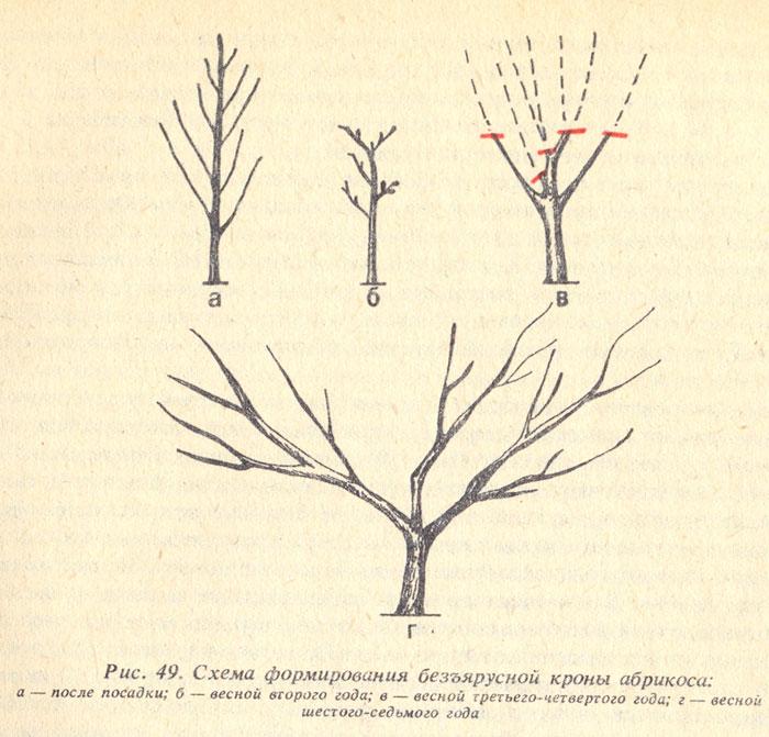кроны дерева абрикоса