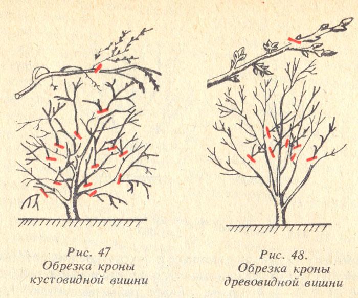 Плодоношение вишни и черешни