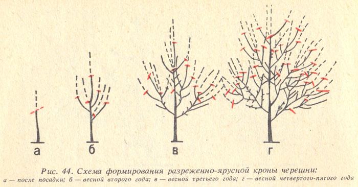 Черешня. Выращиваем черешню в саду