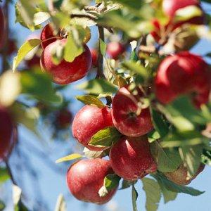 Как провести обрезку яблони?