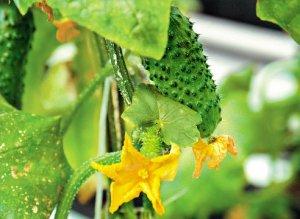 Правильно выращиваем огурцы в открытом грунте