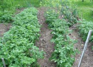 Особенности проведения подкормки картофеля