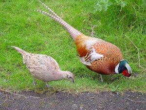 Выращиваем фазанов и цесарок на дачном участке