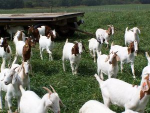 Выращиваем коз на даче