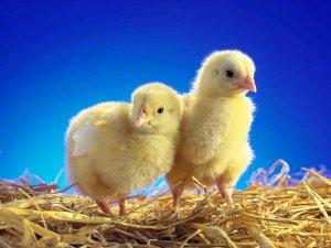 Цыплята на дачном участке