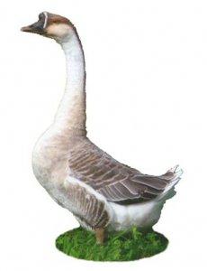Разводим гусей на дачном участке