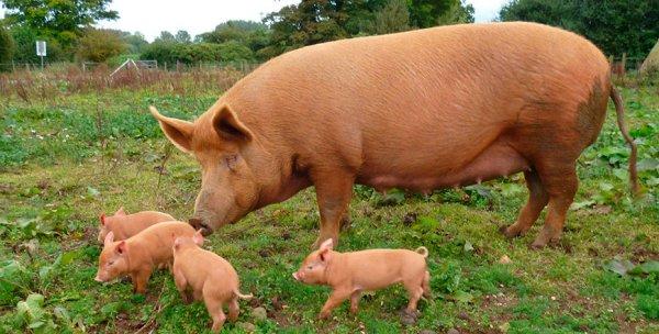 Куры, свиньи и коровы – домашнее золото