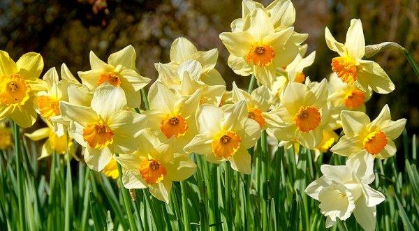 Цветы, которые украсят весеннюю клумбу